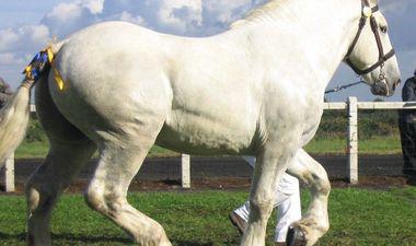 Cheval de race boulonnais