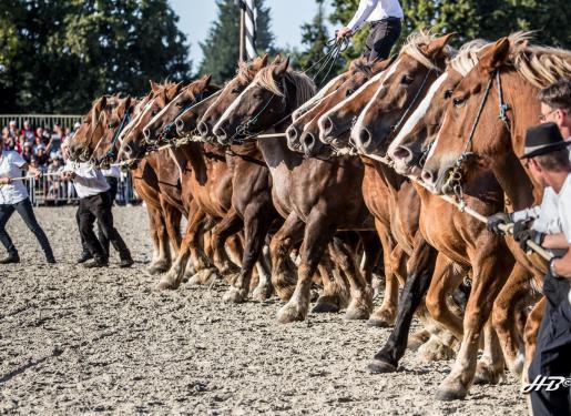 chevaux de trait en enfilade